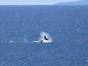 Having a whale of a time off Lamberts Lookout