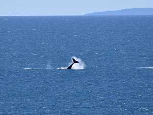 Whale of a time off Lamberts Lookout