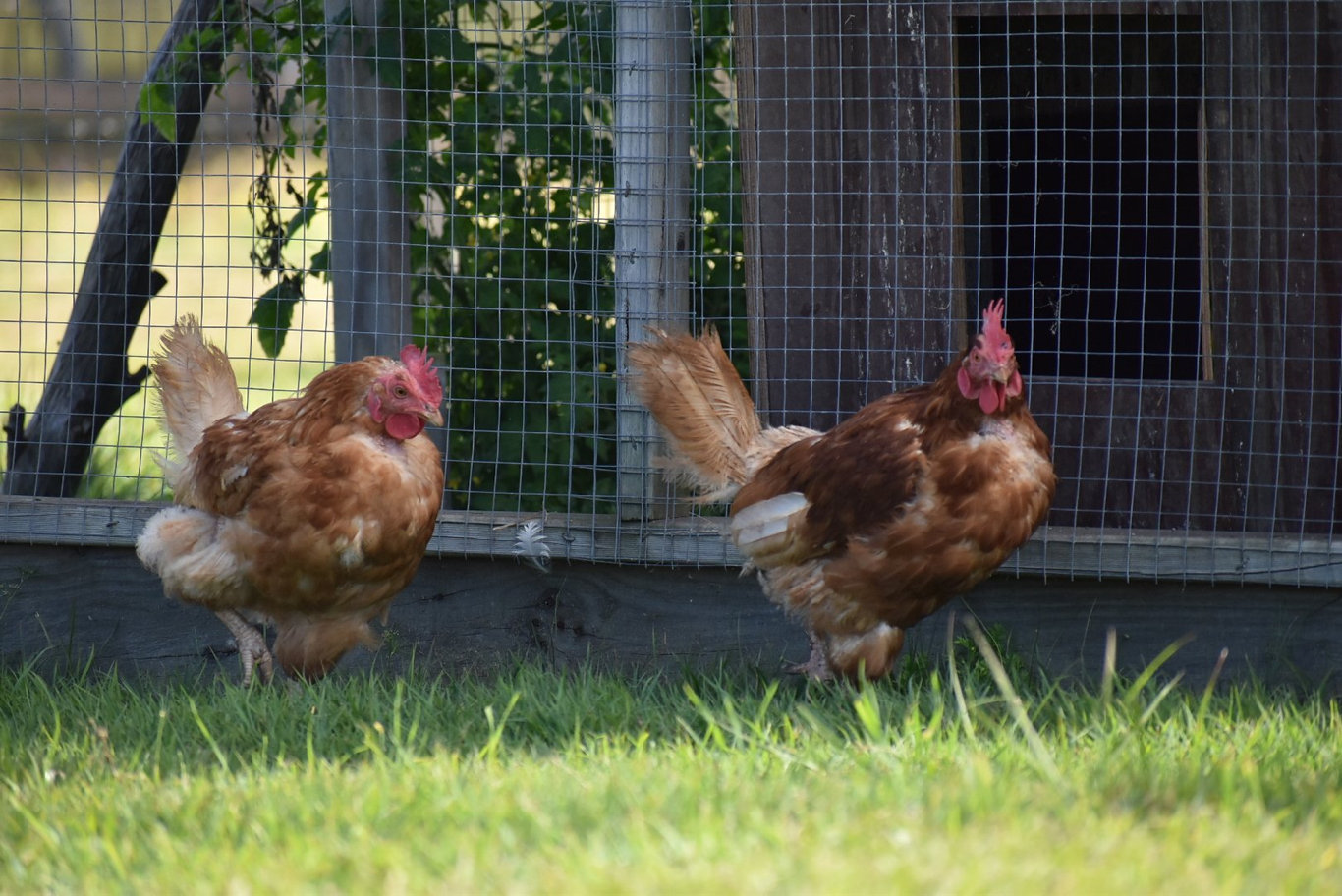 Two hens rescued from a commercial egg farm are now settling into a genuine free-range life on a Clarence Valley farm.
