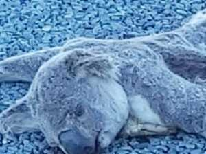 Photos reveal 'koala carnage' on Bruce Highway