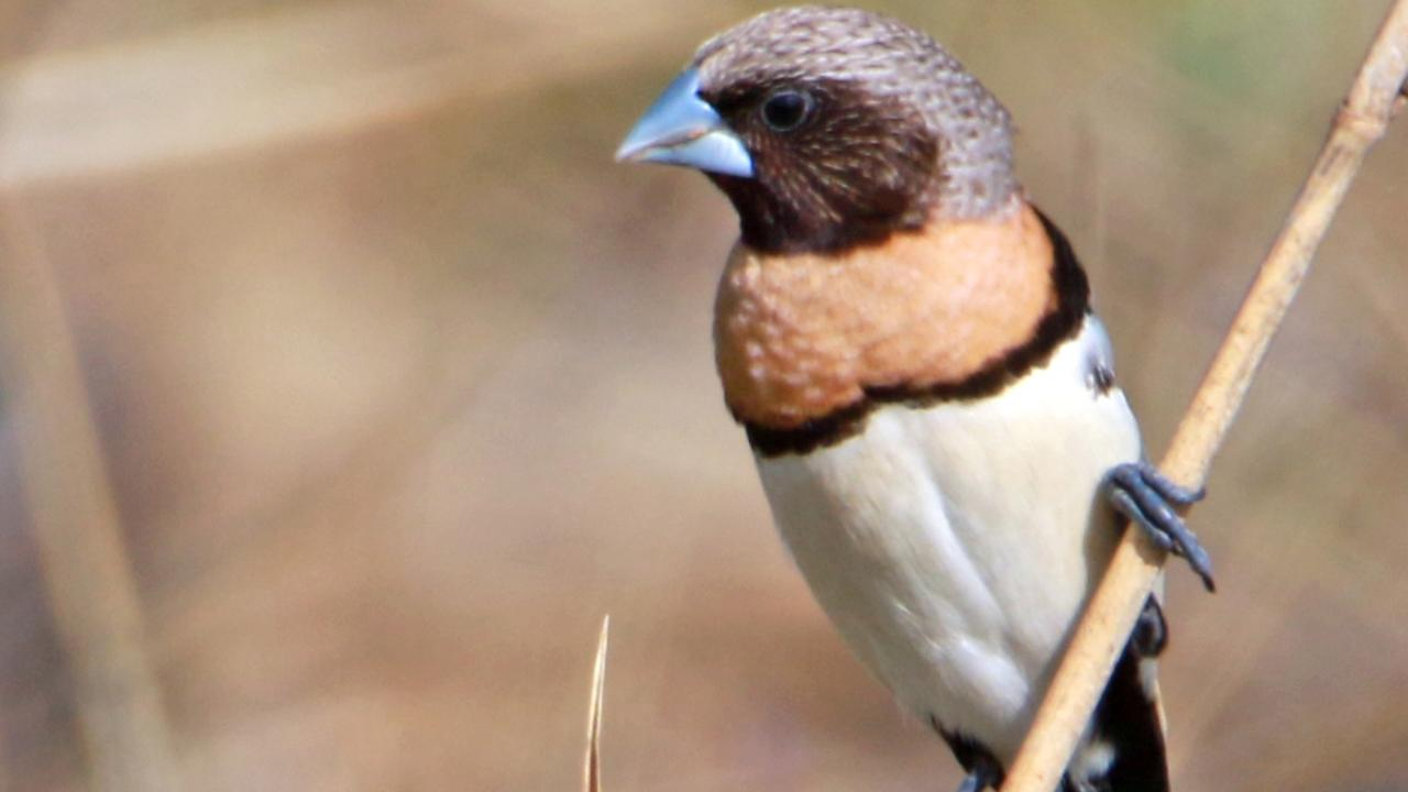 SOCIAL BIRD: The Chestnut-breasted Mannikin is a thick-set brown finch with a grey crown, black face and a heavy grey bill. Photo: Contributed