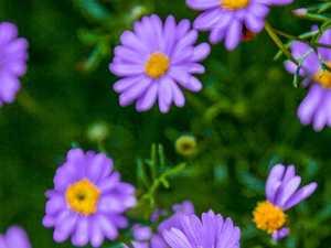 Gardening column: Daisies