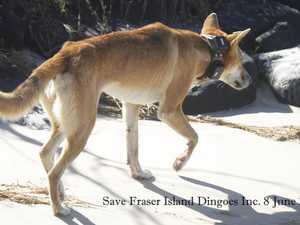 Concerns held for 'high risk' dingo after collar removed