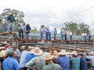 Pandemic can't stop Gympie saleyards' success