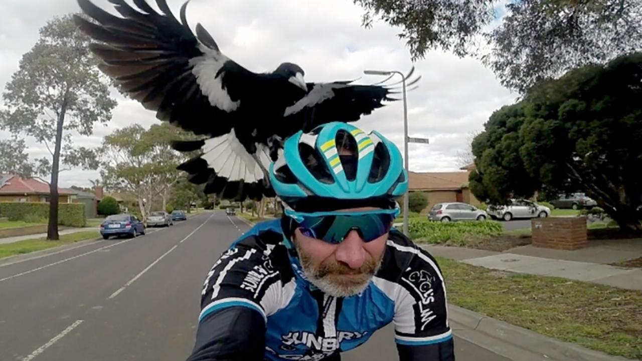 Cyclist Matt Stacey under attack from a magpie. Spring has started and Gympie Regional Council local residents to take the necessary precautions, avoid areas known to have swooping magpies and be patient.