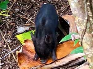 VIDEO: Cute wild piglet breaks into yard