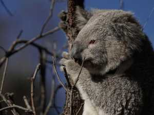 Six koalas hit by cars over the weekend