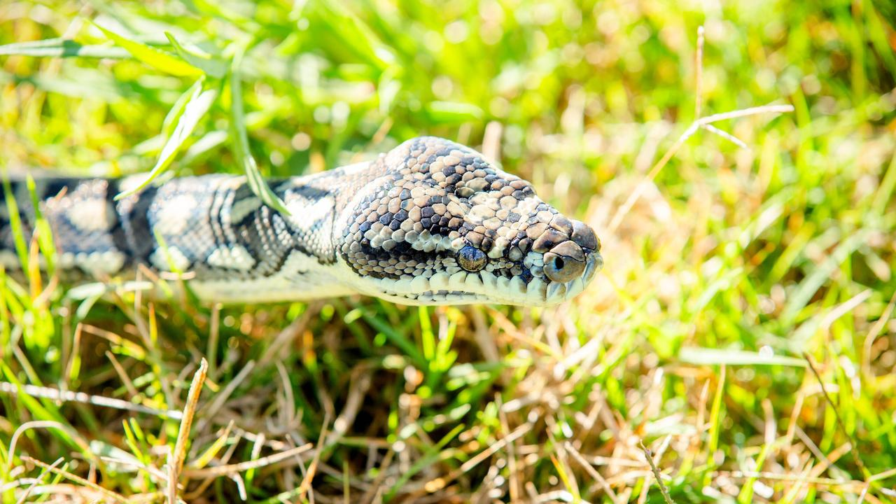 A woman was reportedly bitten by a snake at a Gympie property last night. FILE PHOTO (AAP Image/Richard Walker)