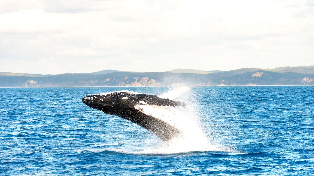 Humpback whale breaching, Hervey Bay, Queensland, Australia