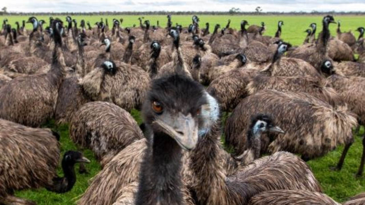 Vets will spend the next two days culling thousands of emus and chickens after a bird flu outbreak.