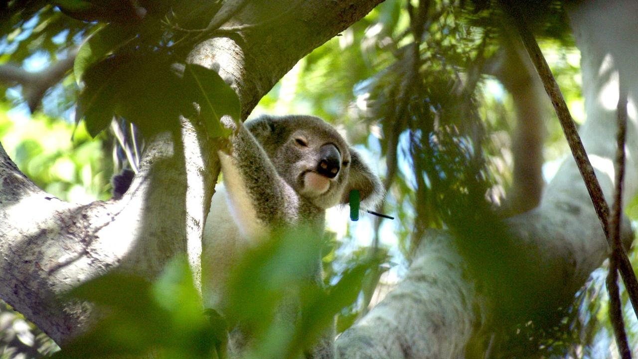St. Bees Island – Nic, a female koala, sits in her tree. Picture: Supplied