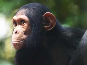 Rocky chimps and keeper to star on national TV show