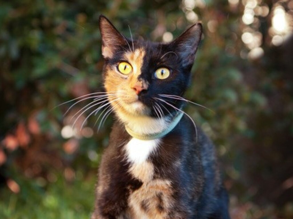 Uriana is a Calico girl born in April 2018 and is looking for her forever home with the help of CQ Pet Rescue.