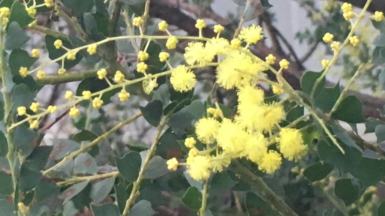 Acacia semilunata