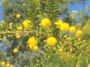 GARDENING: Celebrating CQ's lovely wattle varieties