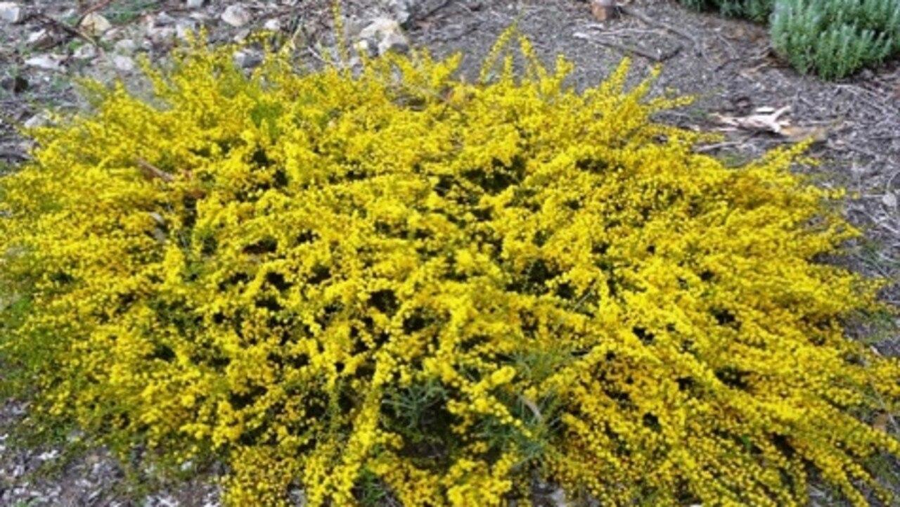 Acacia amblygona