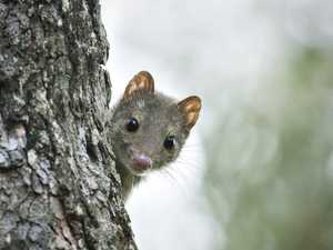 Extinction fears for a North Queensland mammal