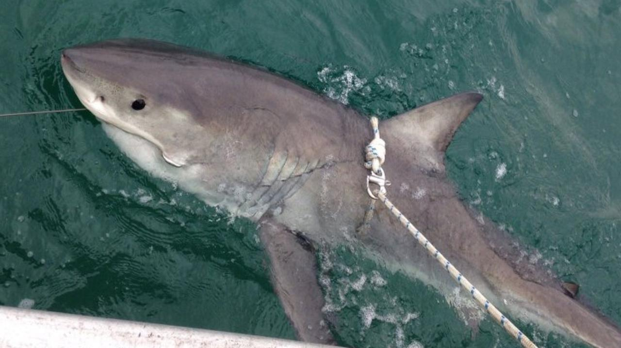 A female great white shark being tagged and released from SMART drum lines off Evans Head near Ballina.