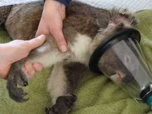 Fire-injured koala Jessie and her baby's miracle survival