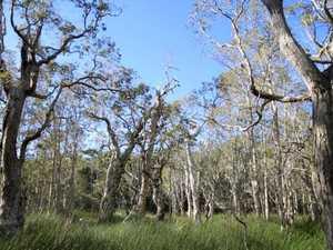 Restoring our endangered Paperbark Swamps