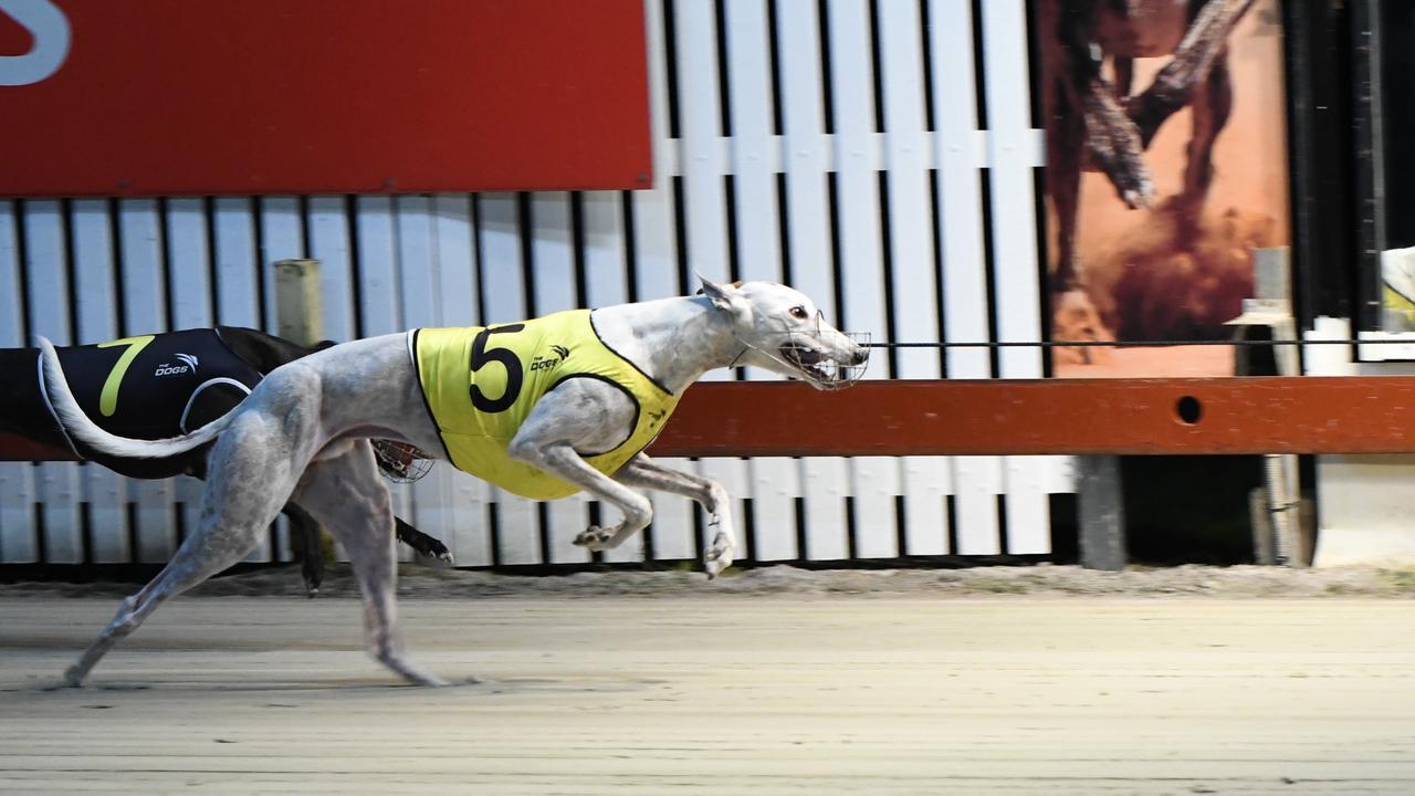 Cosmic Bonus is a true champion of the dog track.