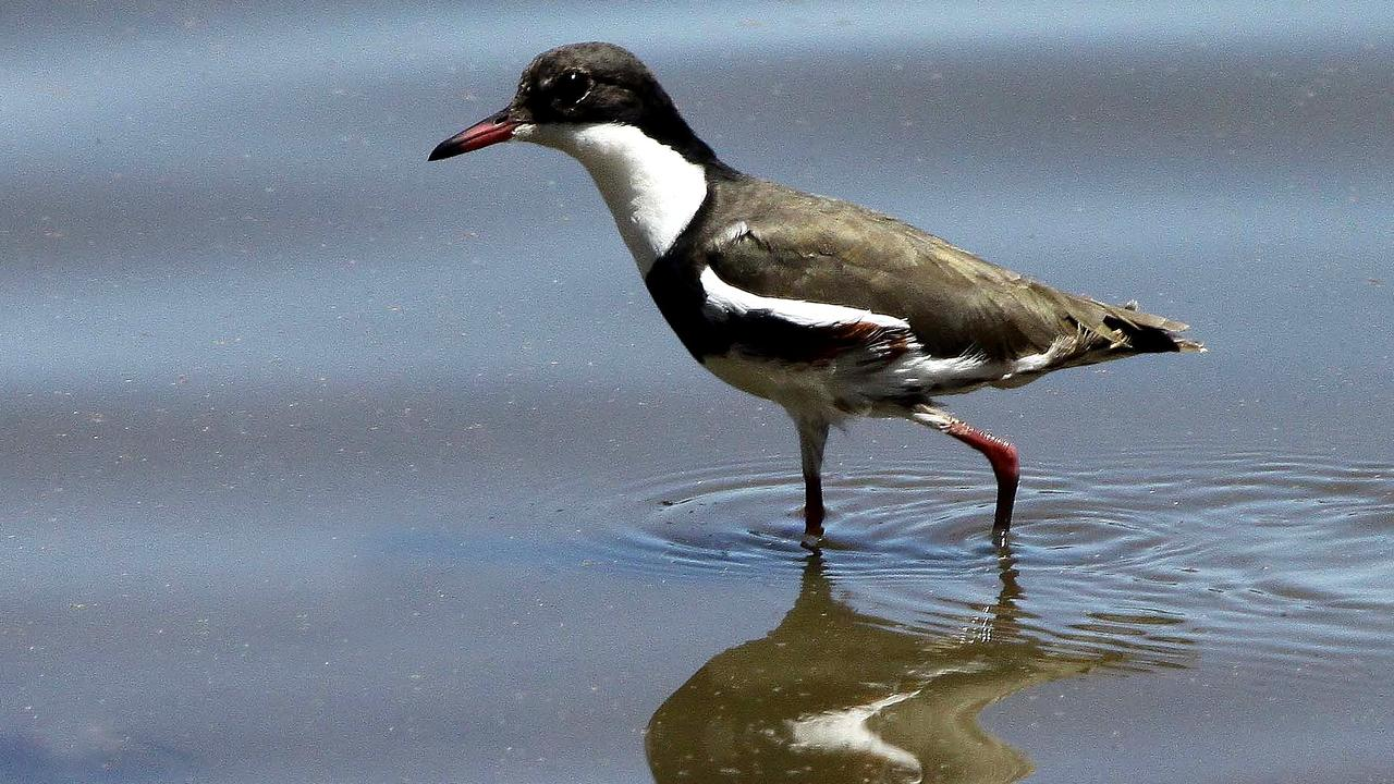 Red kneed dotterel.