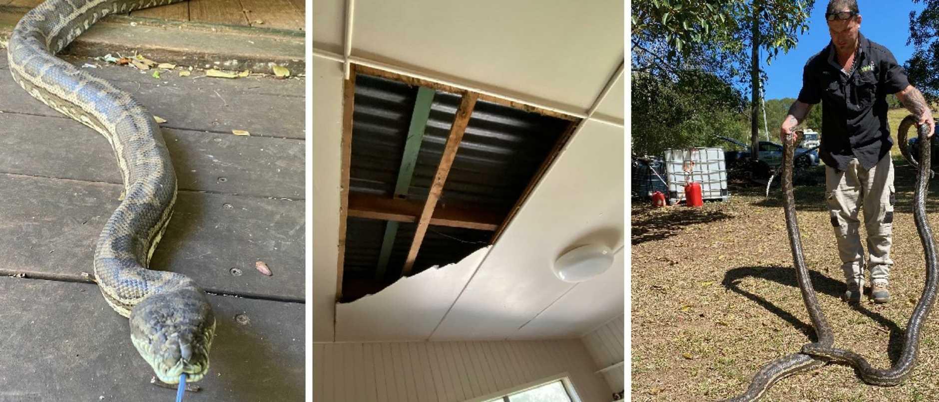Snakes crash through a kitchen ceiling at Dayboro