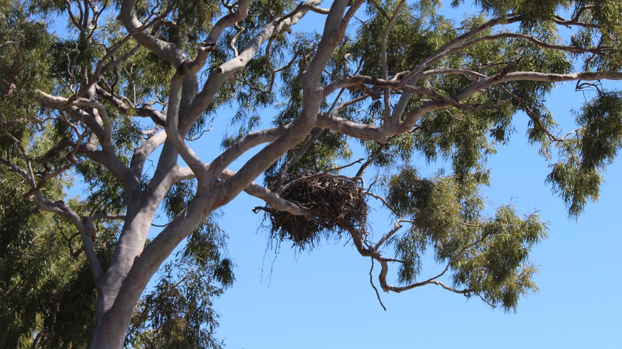 The osprey nest in Urangan.