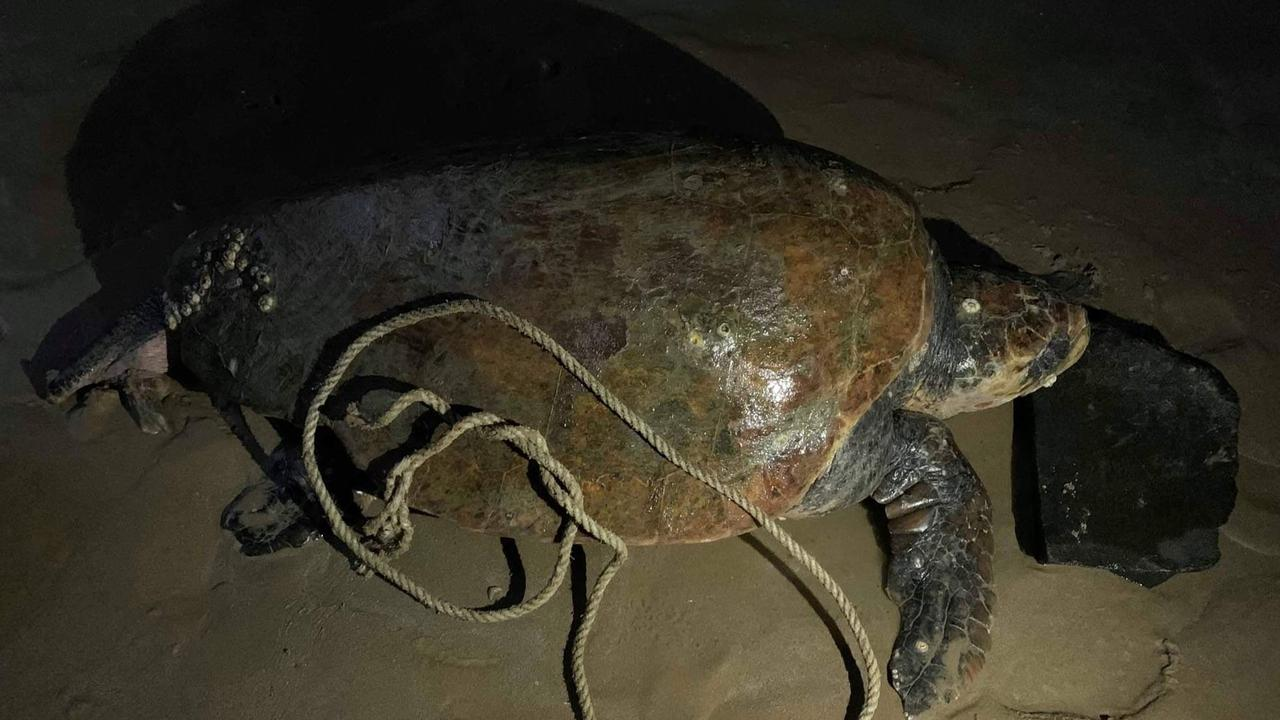 The deceased loggerhead turtle which washed up near the Urangan Pier on Friday night after becoming entangled in the ropes of a sunken boat wreck off Torquay.