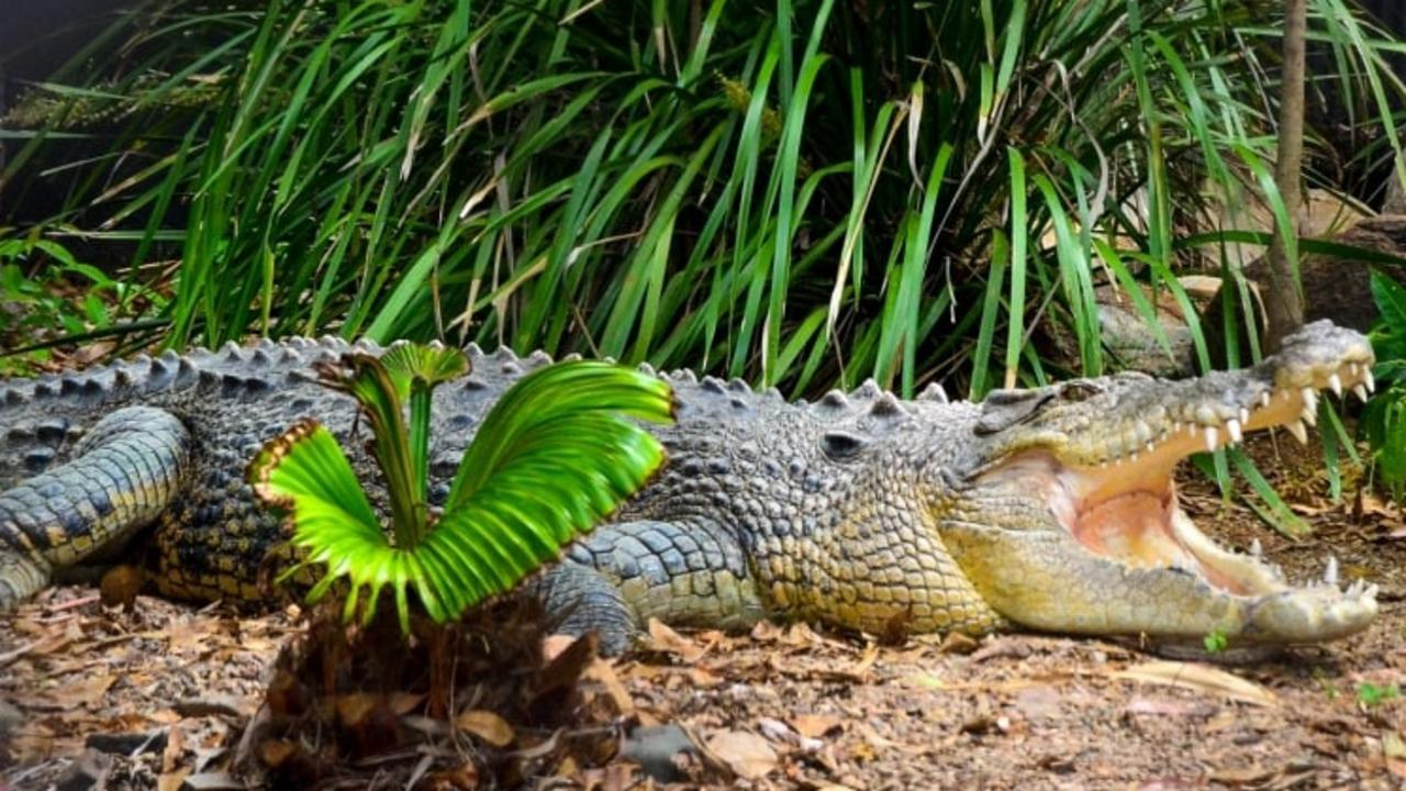 Billabong Sanctuary staff are mourning the loss of one of their oldest crocodiles after he died of natural causes.