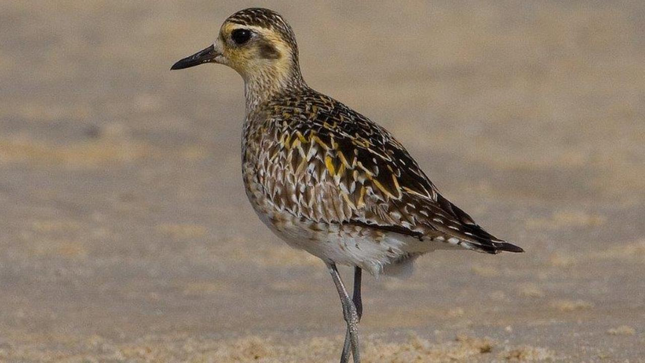A Pacific golden plover is a visitor to Noosa River's sand shores.