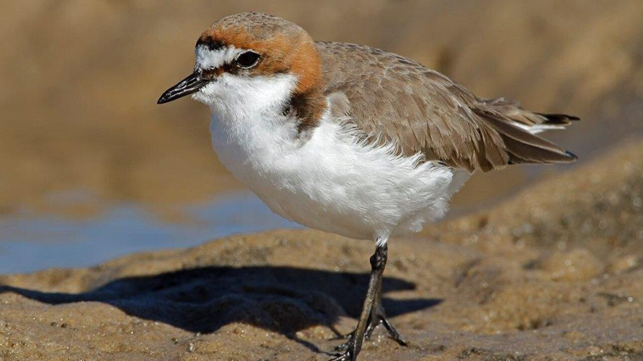 The red capped plover