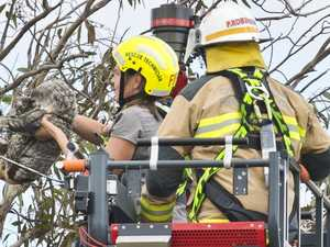 WATCH: Amazing koala rescue in busy Toowoomba suburb