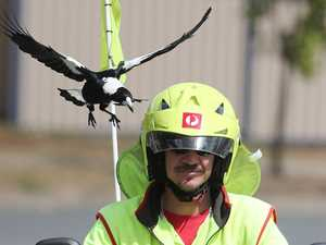 Angry magpies' relentless attacks on poor postie