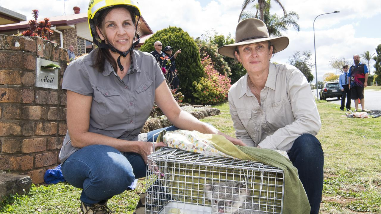 Toowoomba Koala and Wildlife Rescue's Judi Gray (left) and Maree Butlin with Rose the koala, who was removed from a tree in Moore Cr. Picture: Nev Madsen
