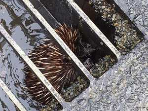 Engineering staff become wildlife warriors to rescue echidna