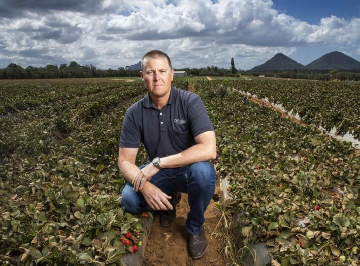 Gavin Scurr, strawberry grower, in a field he had to destroy because of lack of fruit pickers. Photo Lachie Millard