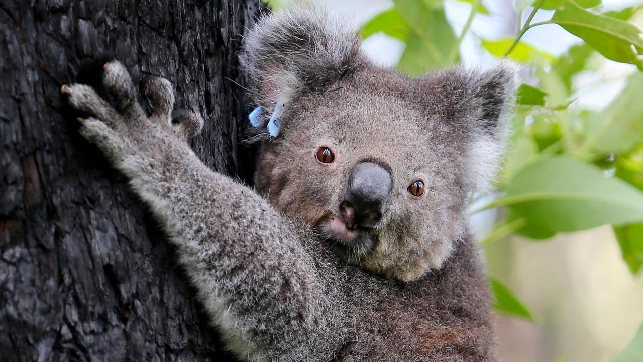 Bushfire Koala Release