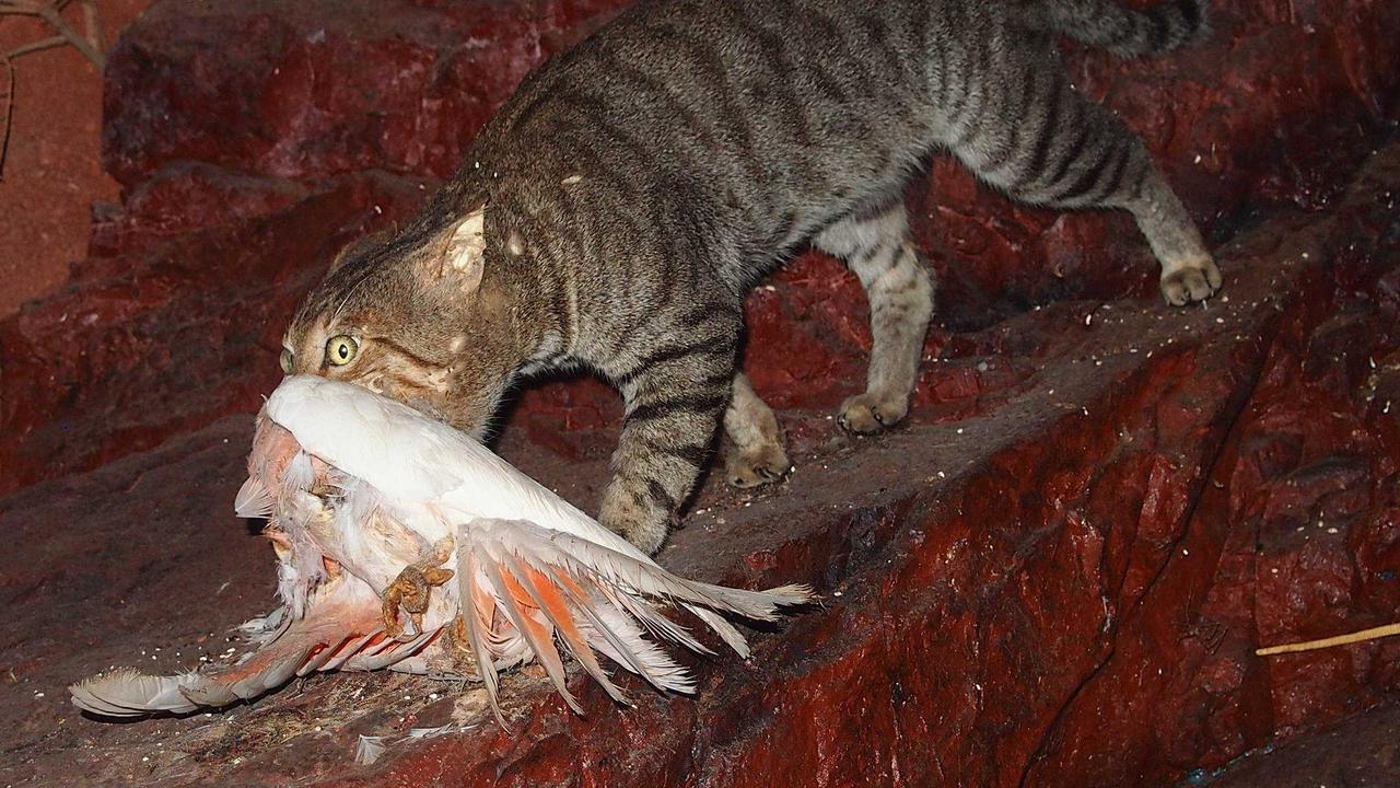 A feral cat kills a galah.