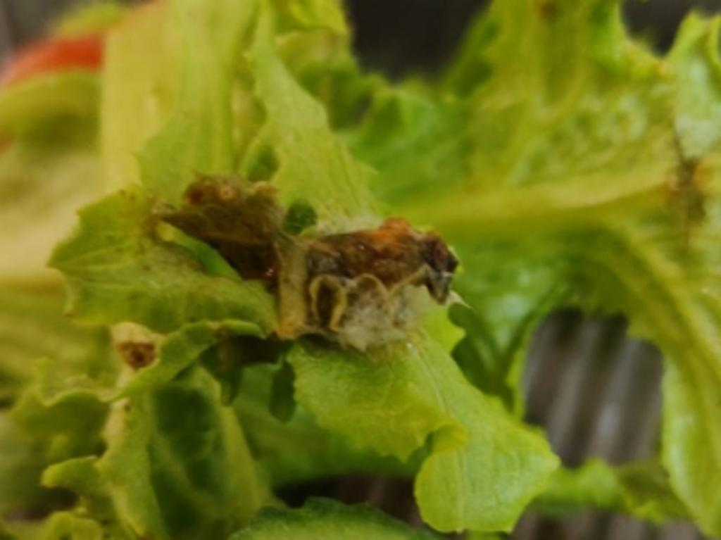 "This guest quarantining in a five star Adelaide hotel found a ""pet"" mould growth on his lettuce. Picture: Supplied"