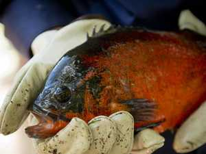 New invader as Mackay named nation's pest fish capital