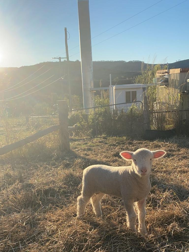 Prized breeding stock have been stolen from a Mount Whitestone property.