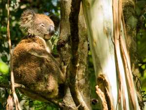 Koala stance could 'botch' economic recovery