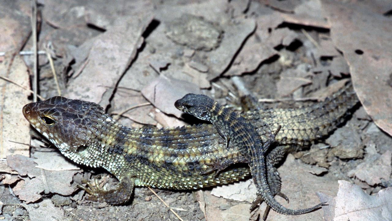 An adult Nangur Skink can grow to 19cm long and are found in burrows in the dry rainforests near Gympie. Picture: Daniel Ferguson
