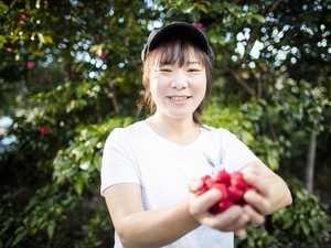 'Rotting on the ground': Tasmania's fruit picking problem
