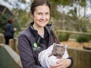 Cure for wombat mange on the horizon