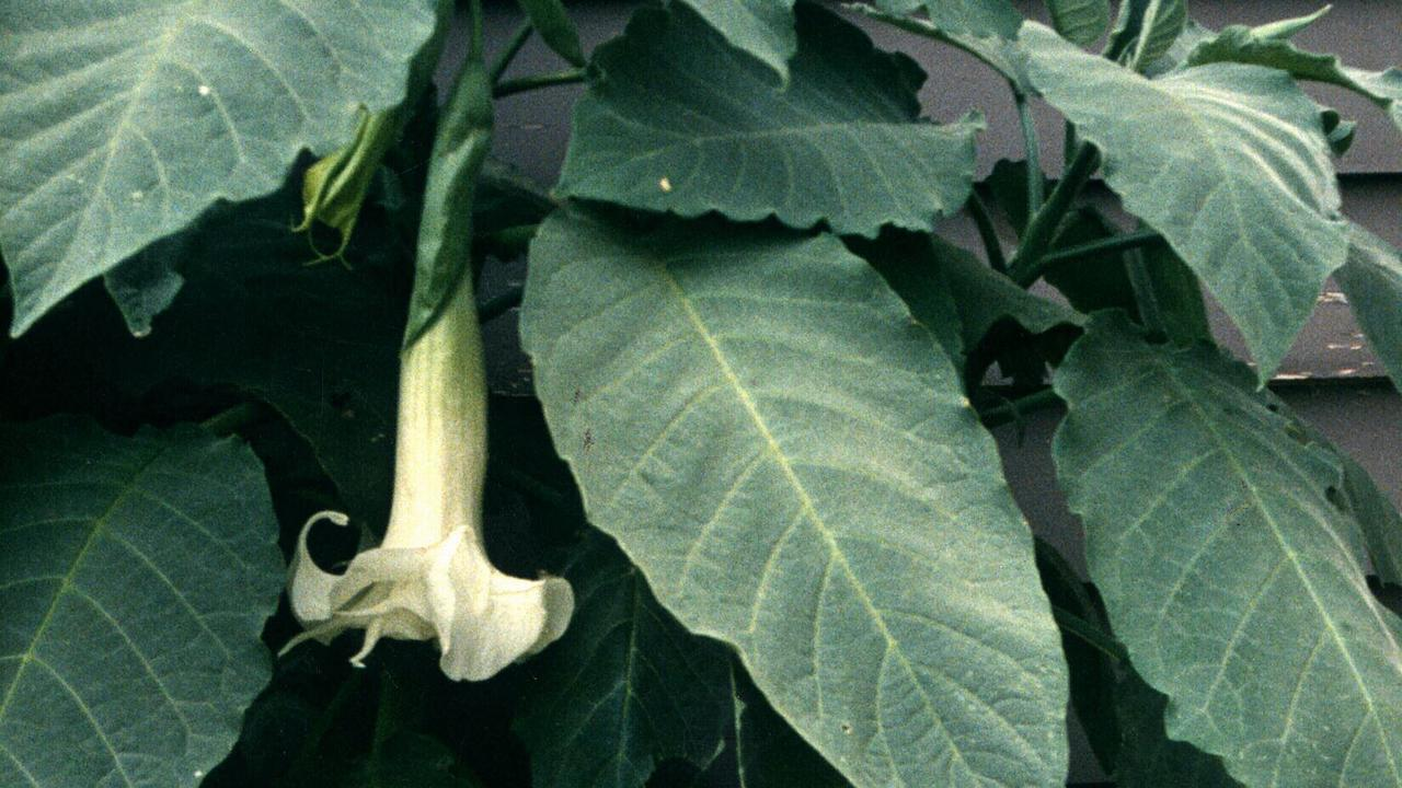 The angels trumpet plant in flower. Photo: File.