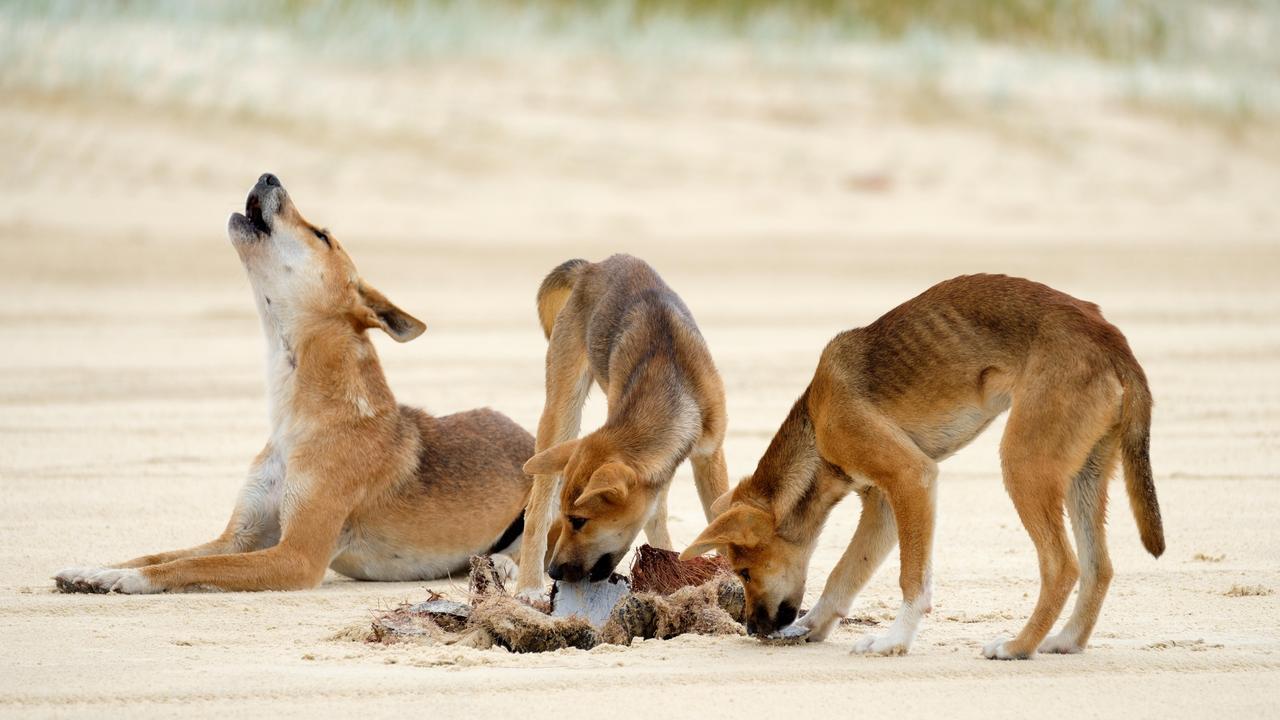 PWT7RM Dingoes – Fraser Island