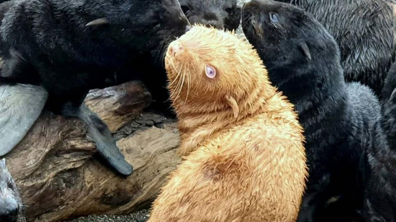 An albino seal pup could be rejected by its colony because of its unique colouring, with marine scientists monitoring its survival.