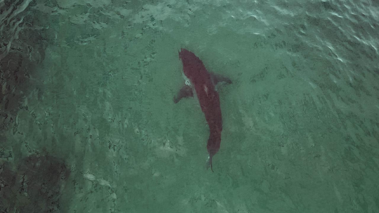 A massive shark spotted circling near a the carcass at Bulli beach. Picture: Georgia Matts
